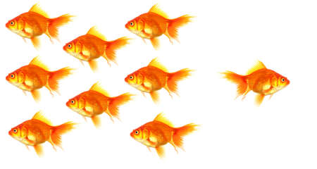 goldfish showing discrimination success individuality leadership or motivation concept Stock Photo - 8509245