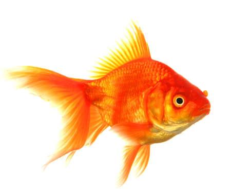 peixe dourado: animal �nico peixinho isolado no fundo branco Banco de Imagens