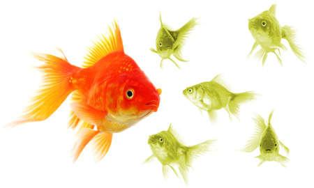 standing out of the crowd concept with individual successful goldfish Stock Photo - 8656678