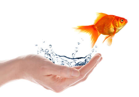 flee: goldfish jumping from hand isolated on white background Stock Photo