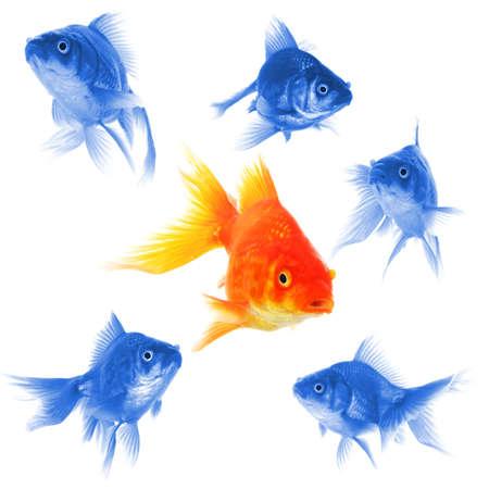 goldfish showing discrimination success individuality leadership or motivation concept Standard-Bild