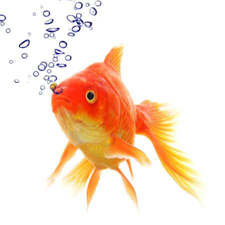 złota rybka: ZÅ'ota Rybka w wodzie z pÄ™cherzyków wykazujÄ…ce pojÄ™cie zwierzÄ…t