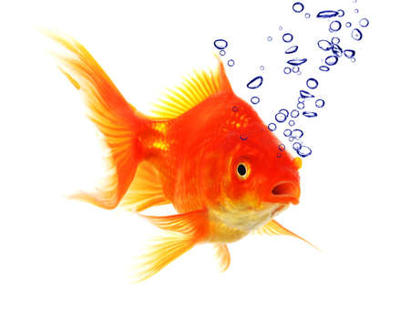goldfish in water with bubbles showing animal concept