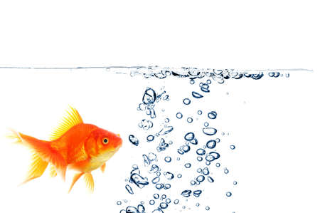 fishtank: goldfish under water with bubbles and copyspace on white