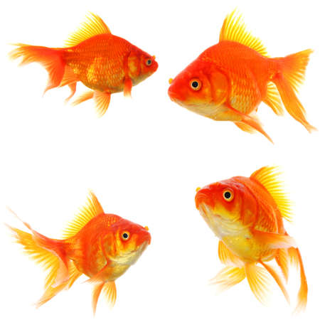 goldfish collection or group or fishes isolated on white background Stock Photo