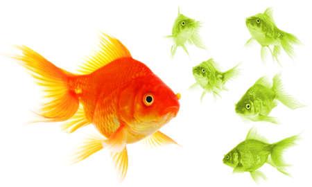 goldfish showing discrimination success individuality leadership or motivation concept photo