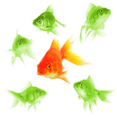 individual: goldfish showing leader individuality success or motivation concept