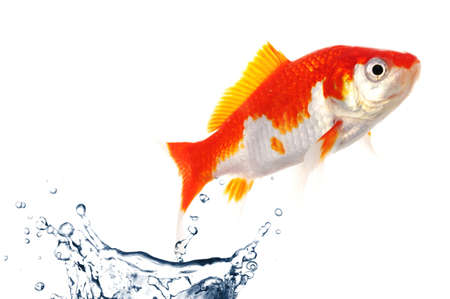 fishtank: goldfish jumping showing escape success or freedom concept