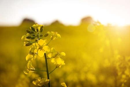 energy suppliers:  Brassica napus Stock Photo