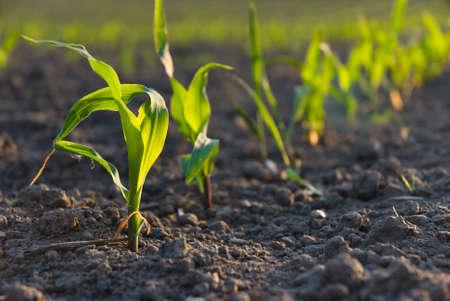 siembra: cultivos de trigo joven Foto de archivo