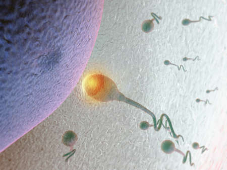 sperm and human egg cell Stock Photo - 9679765