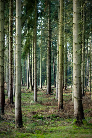 Northern Germany Fir tree forest Stock Photo
