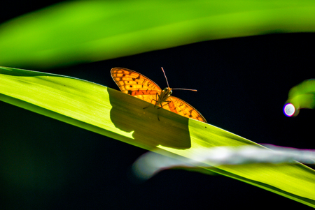 Insect animal : shot of a butterfly on a long leaf with a green background. Natural light in sunny day.