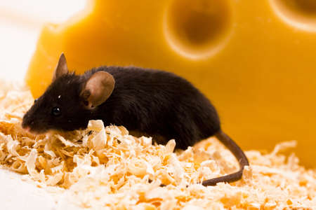 Mouse vs. cheese