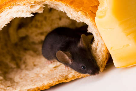 Mouse on bread   photo