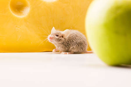 The Mouse and the apple   Stock Photo - 6128131