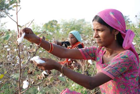 Frauen zupfen Baumwolle aus Feldern Standard-Bild - 70061163