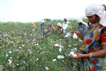 農民のフィールドから綿を摘採