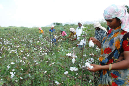 Farmers plucking cotton from field Redactioneel