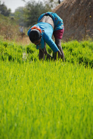 sweltering: Sowing rice saplings in rural India