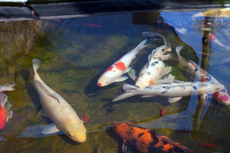 tropical fresh water fish: colorful japanese koi fish swimming in pond