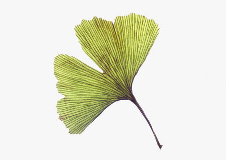exempted: Ginko leaf on white background
