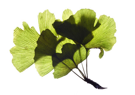 exempted: Gingko leaves on a white background