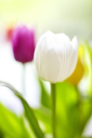 Springlike Tulip bouquet in pink Standard-Bild
