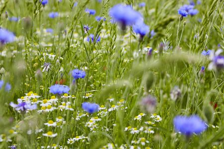 Colourful Flower meadow with poppies and corn flowers