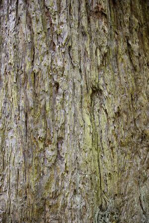 Bark of a sequoia