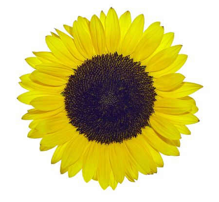 Yellow sunflower exposed against white background