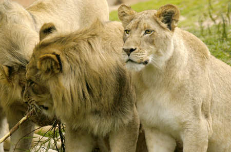 The Lioness who has taken the leading role of this pride and become the matriarch female and mother of the community.                                 photo