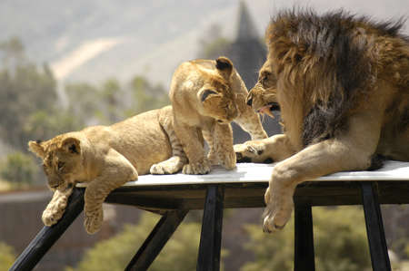 A father lion scolds a coule of his cubs and shows his teeth