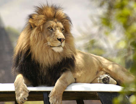 A male lion kings sits up high on his throne overlooking his pride and kingdom.
