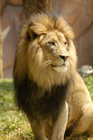 A large dominant male lion watching over the pride.