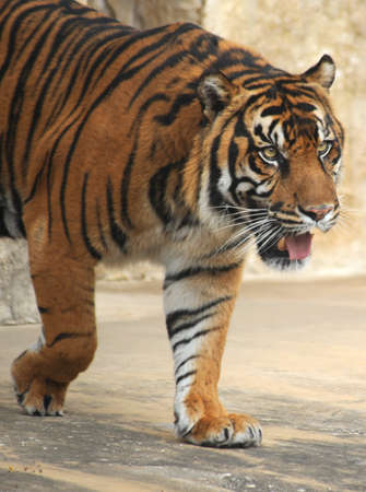 sumatran tiger: Tiger Stalking Prey