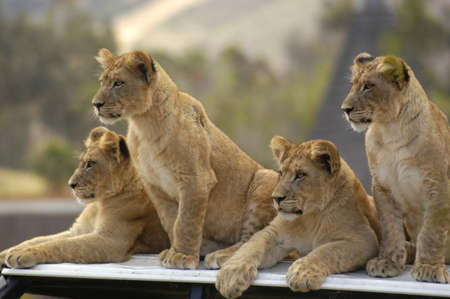 grunt: Lion cubs watch and wait as their parent stalk prey.