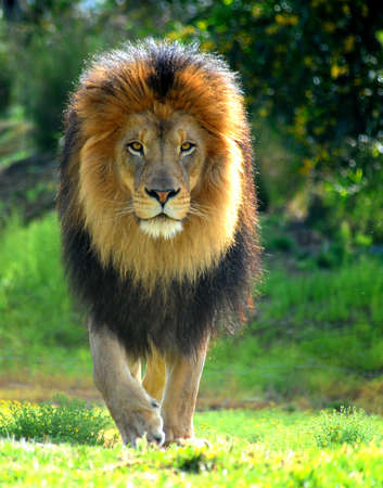 Lion advancing towards the camera