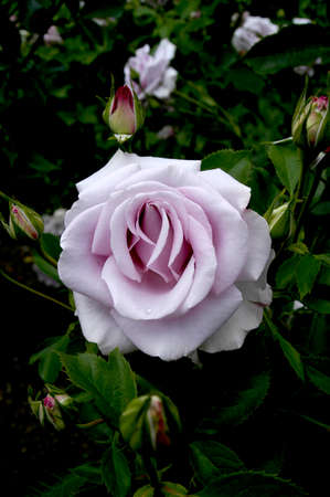 Perfect Purple Rose fully opened in all its glory. Stock Photo