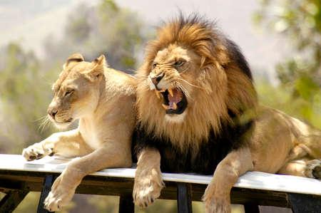 悪い気分の男性ライオン 写真素材 - 105686050