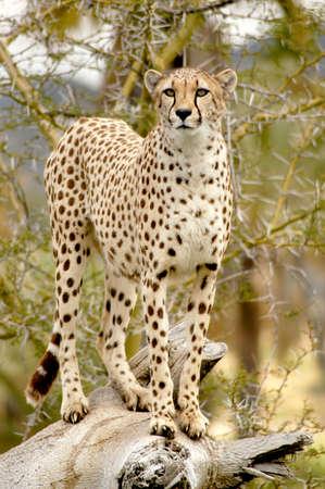 Cheetah eyeing her territory for prey. Imagens