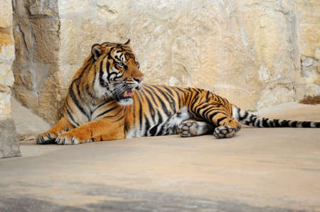 Tiger Agitated and Annoyed Stock Photo