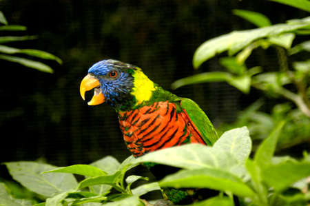 This rainbow lorikeet is very talkative, noisy, and annoying as he tries to get attention. Foto de archivo