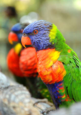 Theses Rainbow Lorikeets are perched on a branch and looking very colorful and tame.