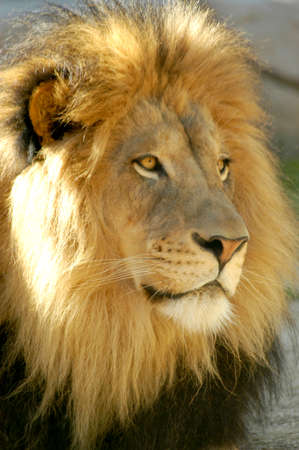 Lion Portrait of a dominant male looking for prey for himself and his pride.