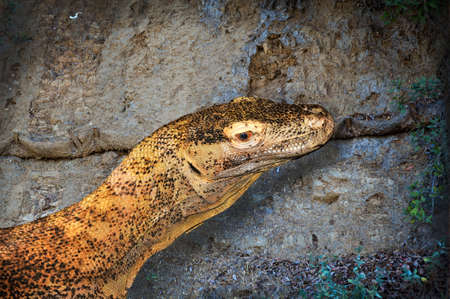 Close up of a Komodo Dragon as he gives a dangerous look back.