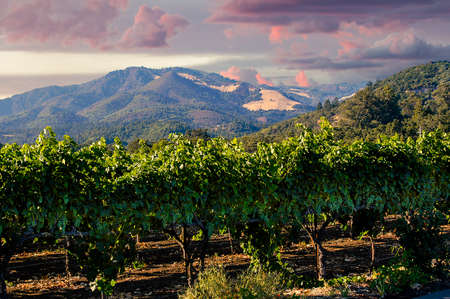 Napa valley at sunrise with beautiful sky colors over the mountains and wine grapes growing in the foreground.