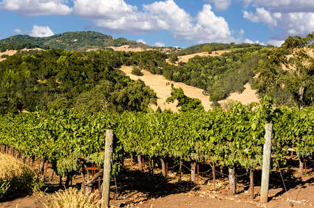 White puffy clouds over the Napa Valley hills full of wine grapes and lines and lines of vineyards.