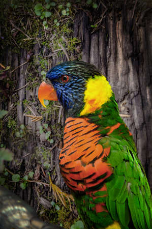 A beautiful, colorful, and single Rainbow Lorikeet sits pretty in a tree observing his or her surroundings in nature.