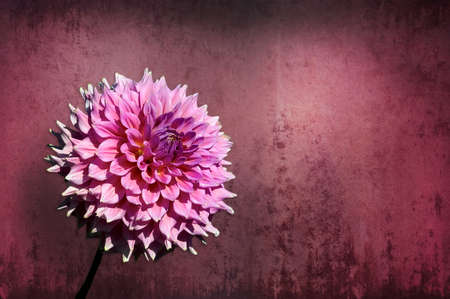 A Single Pink and Purple Dahlia flower on a contrasting background to make it pop. 免版税图像